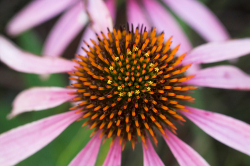 Does Echinacea Really Help Prevent Or Treat A Cold?